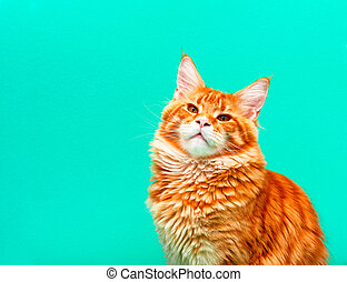 Portrait of Maine Coon cat against green background.