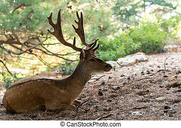 Portrait of majestic powerful young red deer stag resting in nature