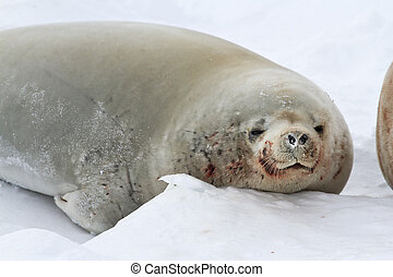 portrait of male crabeater seals lying on the ice in Antarctica