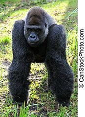Portrait of Male Gorilla