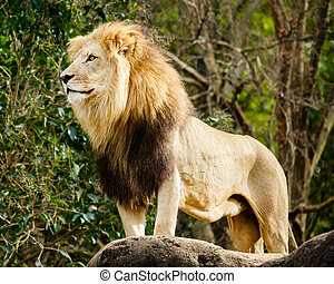 Portrait of male lion - Male lion looking out atop rocky...