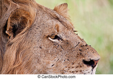 Portrait of male lion staring