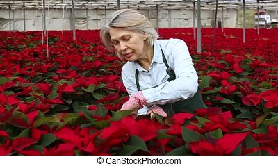 mature woman florist working in greenhouse, checking ...