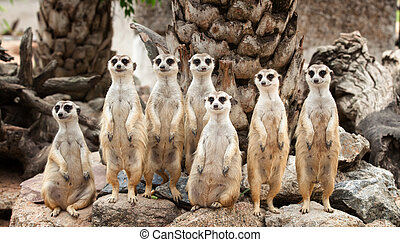 Portrait of meerkat family on the rock