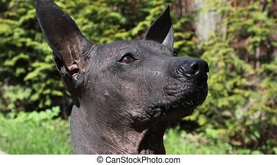 Portrait of Mexican xoloitzcuintle dog - Portrait of Mexican...