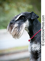 portrait of miniature schnauzer close up