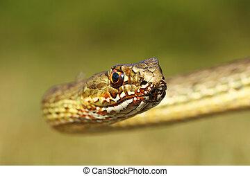 portrait of montpellier snake