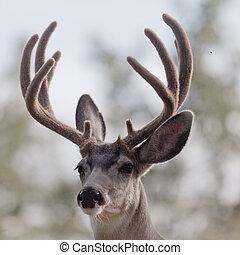 Portrait of mule deer buck with velvet antler - Portrait of ...