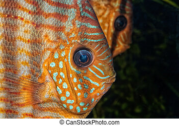 Portrait of natural discus fish