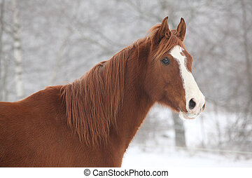 Portrait of nice chestnut horse in winter