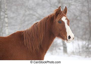 Portrait of nice chestnut horse in winter