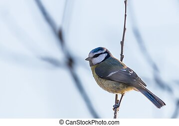 Portrait of nice small blue tit bird which sits on branch