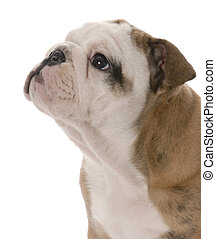 portrait of nine week old english bulldog puppy on white background