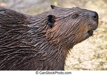 Portrait of North American Beaver