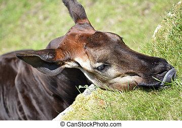 Portrait of okapi eating grass