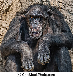 Portrait of old depressed Chimpanzee