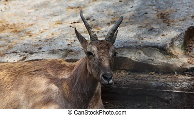 portrait of one adult antelope that chew in zoo, close-up