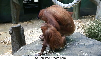 Portrait of orangutan and cub in zoo - Red haired orangutan...