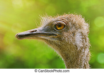 Portrait of Ostrich against Green Background