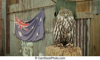 Owl with Australian flag - Portrait of Owl with Australian...
