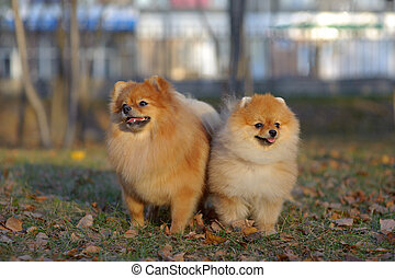 Portrait of pair pomeranian spitz