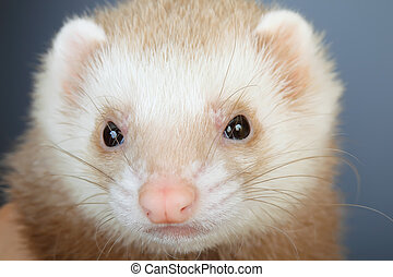 Portrait of pastel ferret