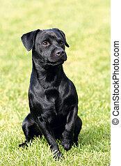 Portrait of Patterdale Terrier in a garden