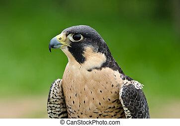 Peregrine Falcon (Falco peregrinus) - Portrait of Peregrine ...