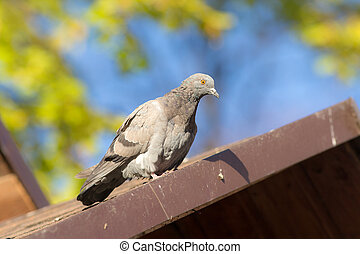 pigeon on a roof closeup