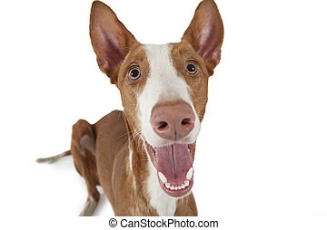 Portrait of Podenco ibicenco dog on white - Portrait of ...