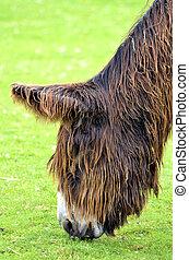 Portrait of Poitevin donkey