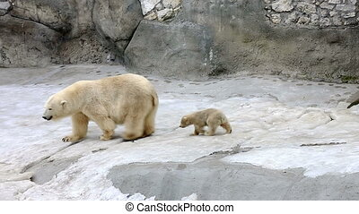 Portrait of polar bear and bear-cub - Funny cub following...