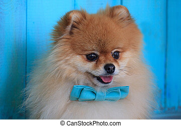 Portrait of pomeranian puppy in a blue bow tie.