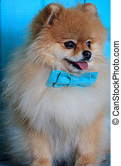 Portrait of pomeranian puppy in the bow tie.