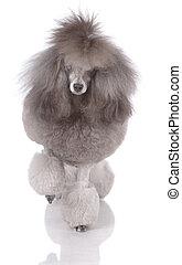 Portrait of poodle on three legs