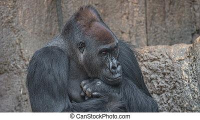 Portrait of powerful African gorilla