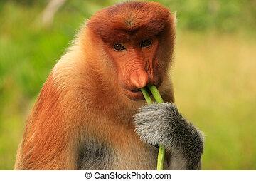Portrait of Proboscis monkey eating, Borneo, Malaysia