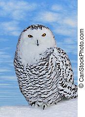 Portrait of Pround Snowy Own. - Pround Snowy Own, predator...