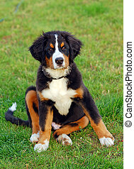 Portrait of puppy Bernese mountain dog