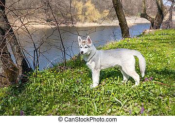 Portrait of puppy Siberian Husky
