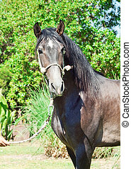 portrait of pure-bred  Andalusian grey  stallion. Spain
