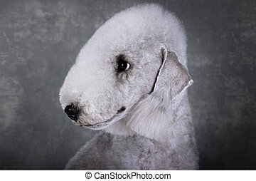 Portrait of purebred Bedlington Terrier dog on a gray background