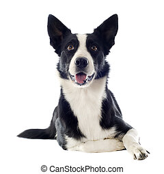border collie - portrait of purebred border collie in front...