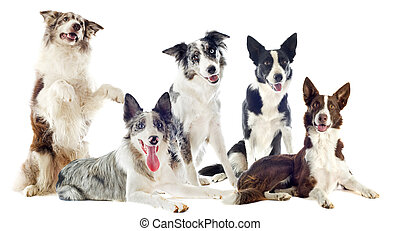 border collies - portrait of purebred border collies in...