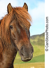 Portrait of purebred Icelandic horse in the field