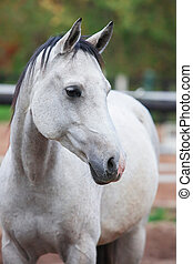 Portrait of purebred white horse