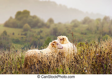 portrait of ram and sheep in fog
