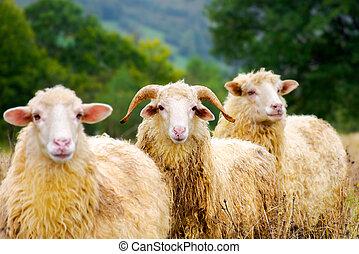 portrait of ram in the sheep herd