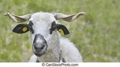 ram white and black with horns