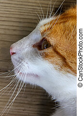 Portrait of red white cat on the wooden floor. Portrait of ginger cat. Cat is small domesticated carnivorous mammal with soft fur.